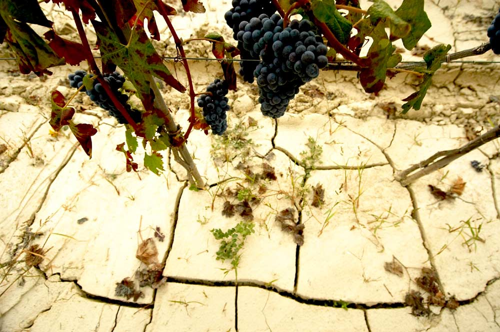 dry ground with grapes