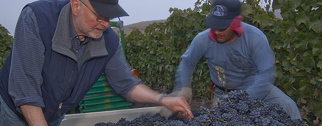 Harvesting Pinot Noir grapes at Rio Vista North