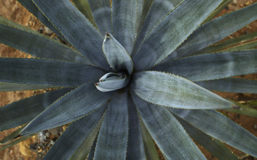 agave-USE