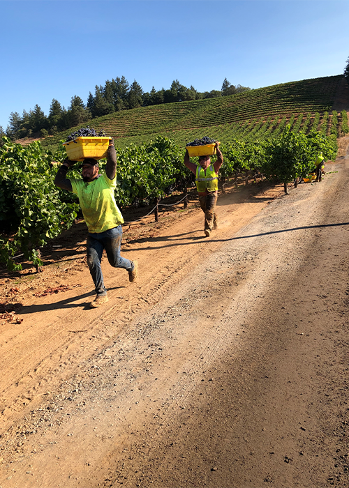 Angels & Cowboys Grenache picking