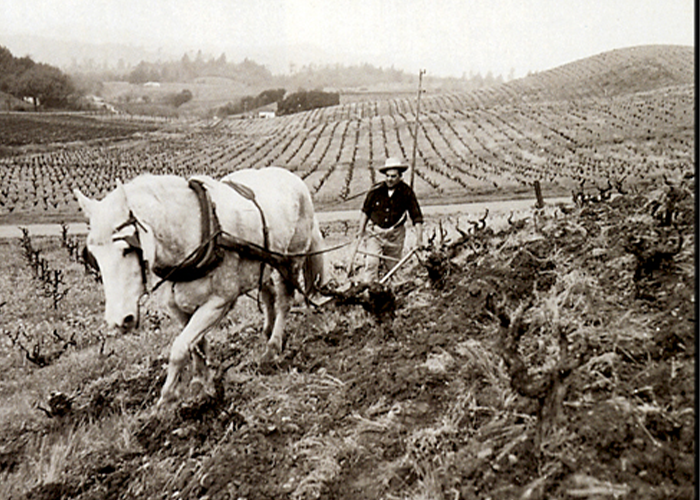 Pedroncelli Vineyard plowing