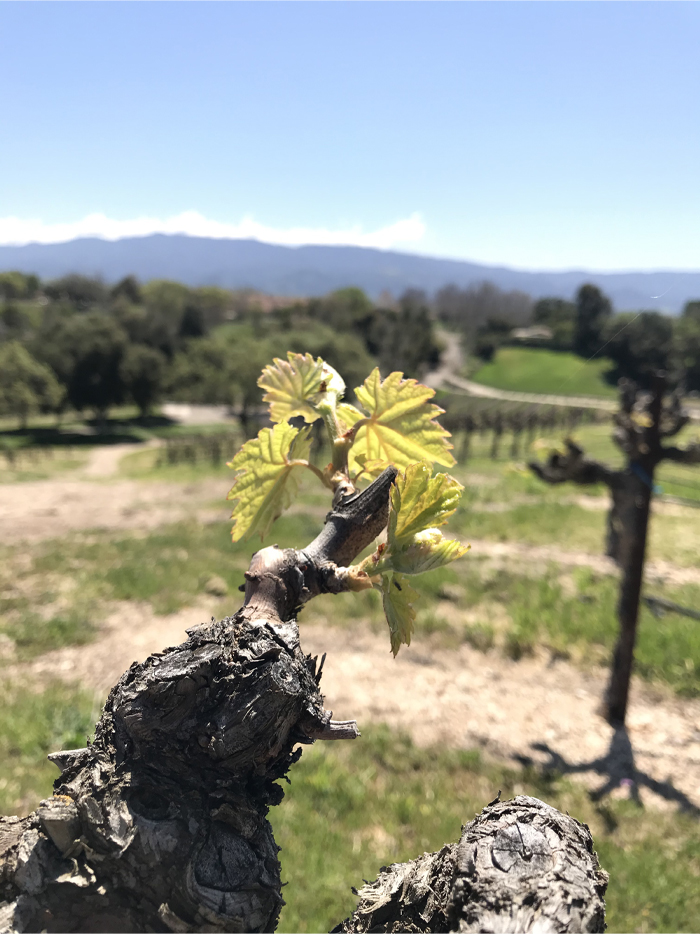 Bridlewood bud break Zinfandel