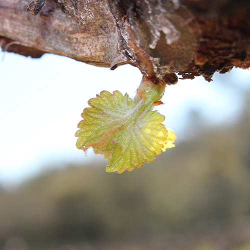Domaine de Cala bud break