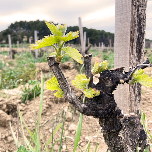 Domaine Cristia bud break