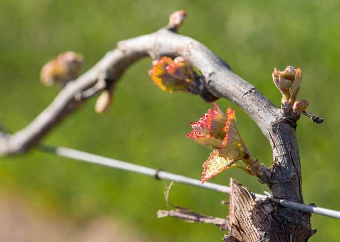Dry Creek Vineyard Alicante Bouschet bud break
