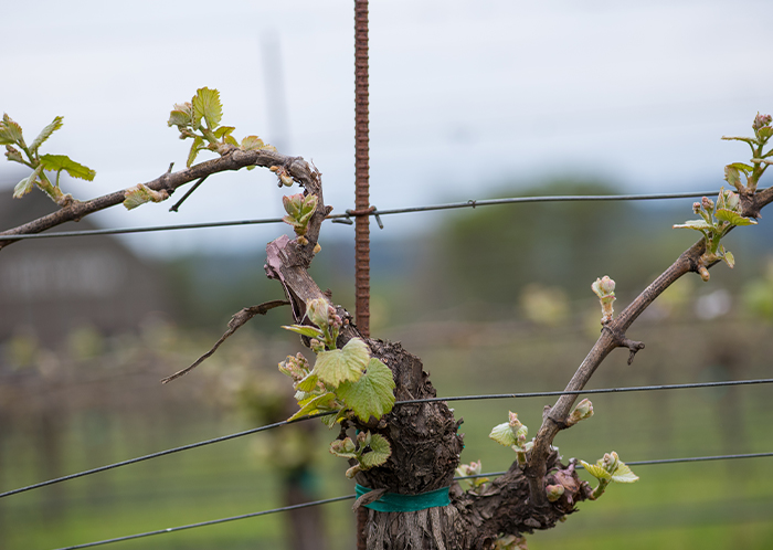 Dry Creek malbec bud break