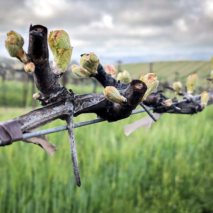 Eberle's Cabernet bud break