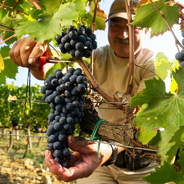 Felsina vineyard harvest sangiovese