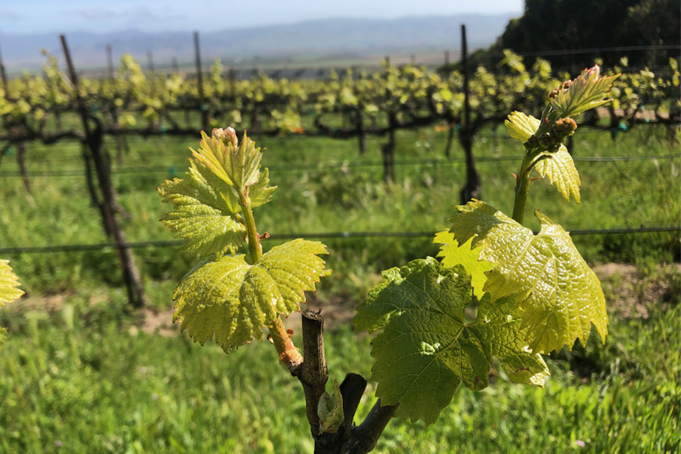 Talbott Vineyards bud break