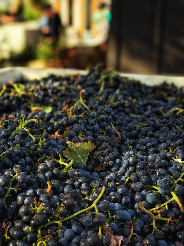 1710_Anderson Conn Valley_harvest_merlot grapes_Michael Housewright
