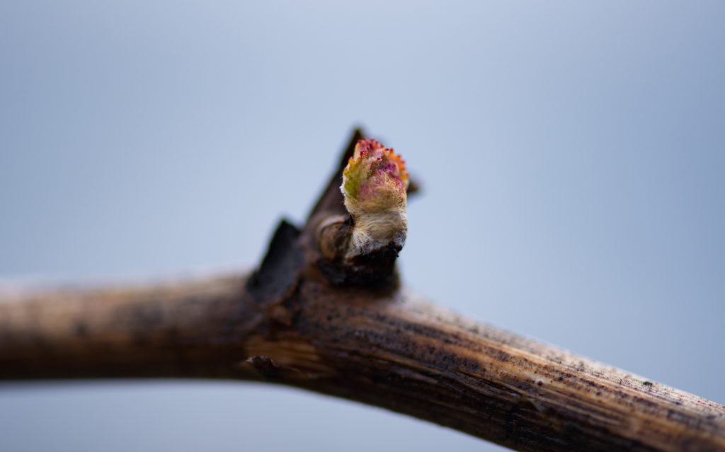 1803_Dry Creek Vineyard_Bud Break_DSC_1900 copy