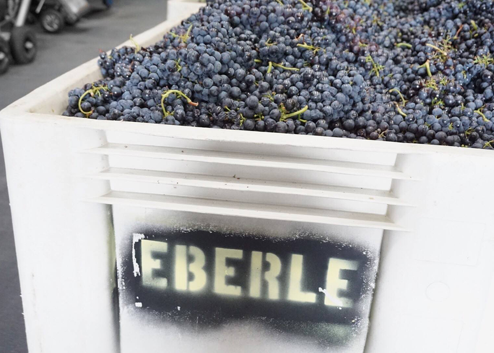 1709_Eberle_harvest grapes 2