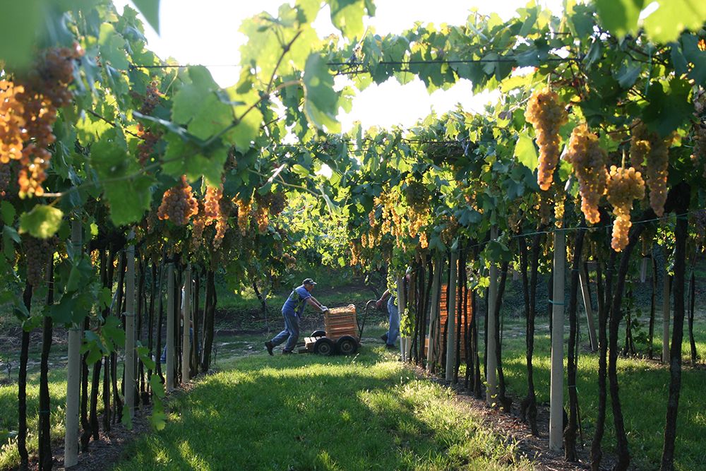 pieropan_vineyard_harvest