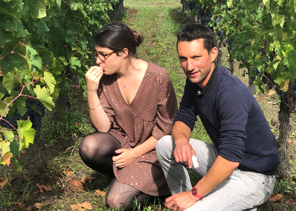 Chateau Chauvin harvest