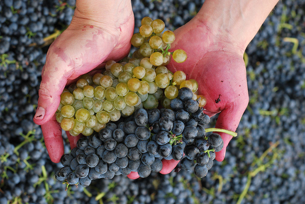 Dusted Valley harvest grapes