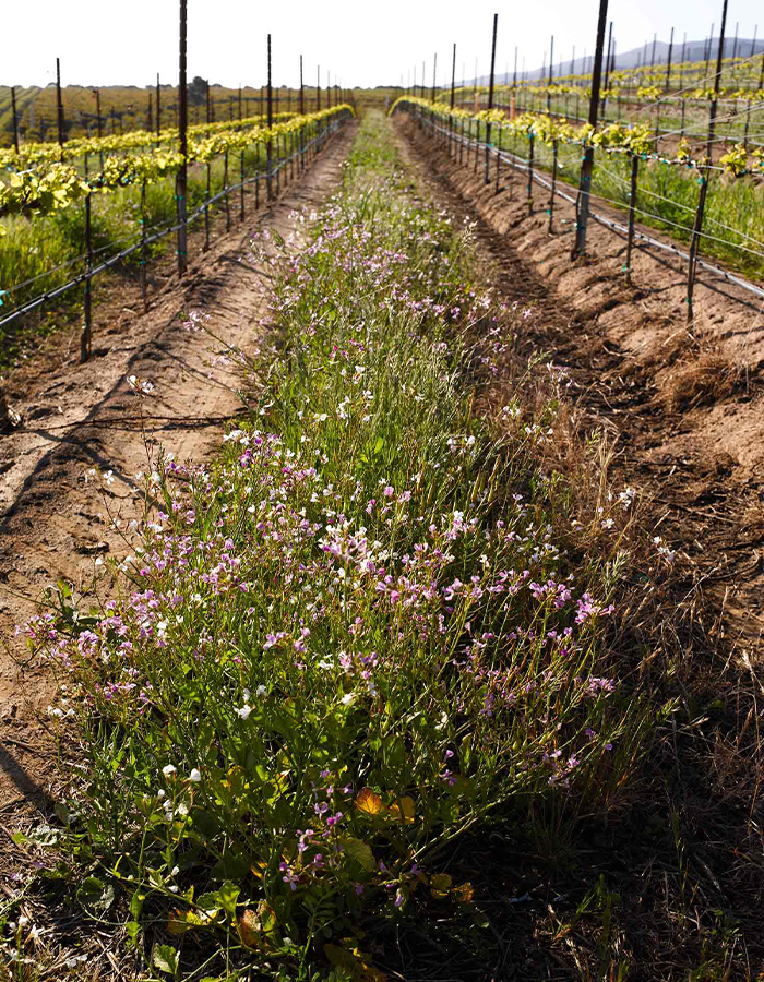 Beneficial cover crops at J. Lohr vineyards