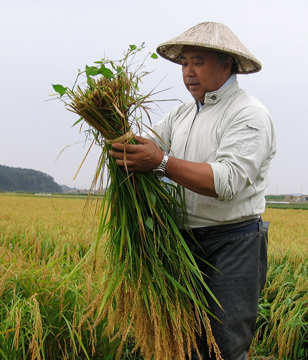 Toji Master Brewer inspects freshly cut rice in the field.